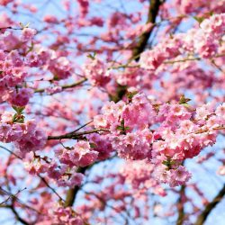 Sakura Season and Best Hanami Spots in Japan