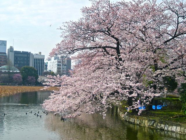 cherry-blossom-238435_640